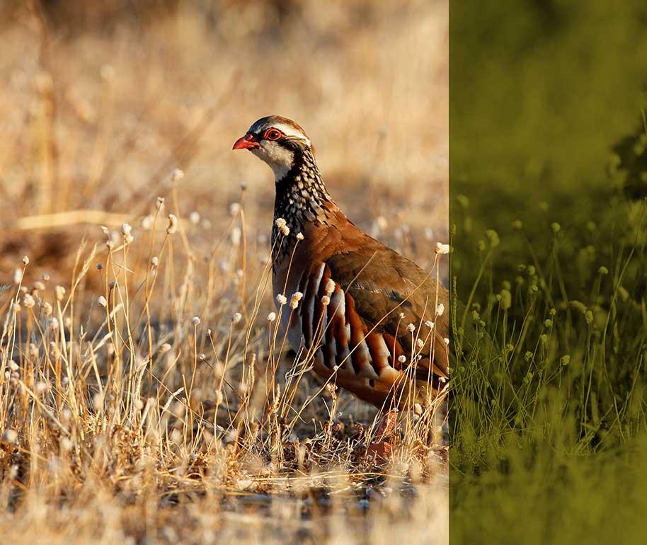 Ojespain - The Partridges