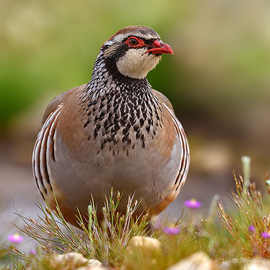 Ojespain - Red Leg Partridge
