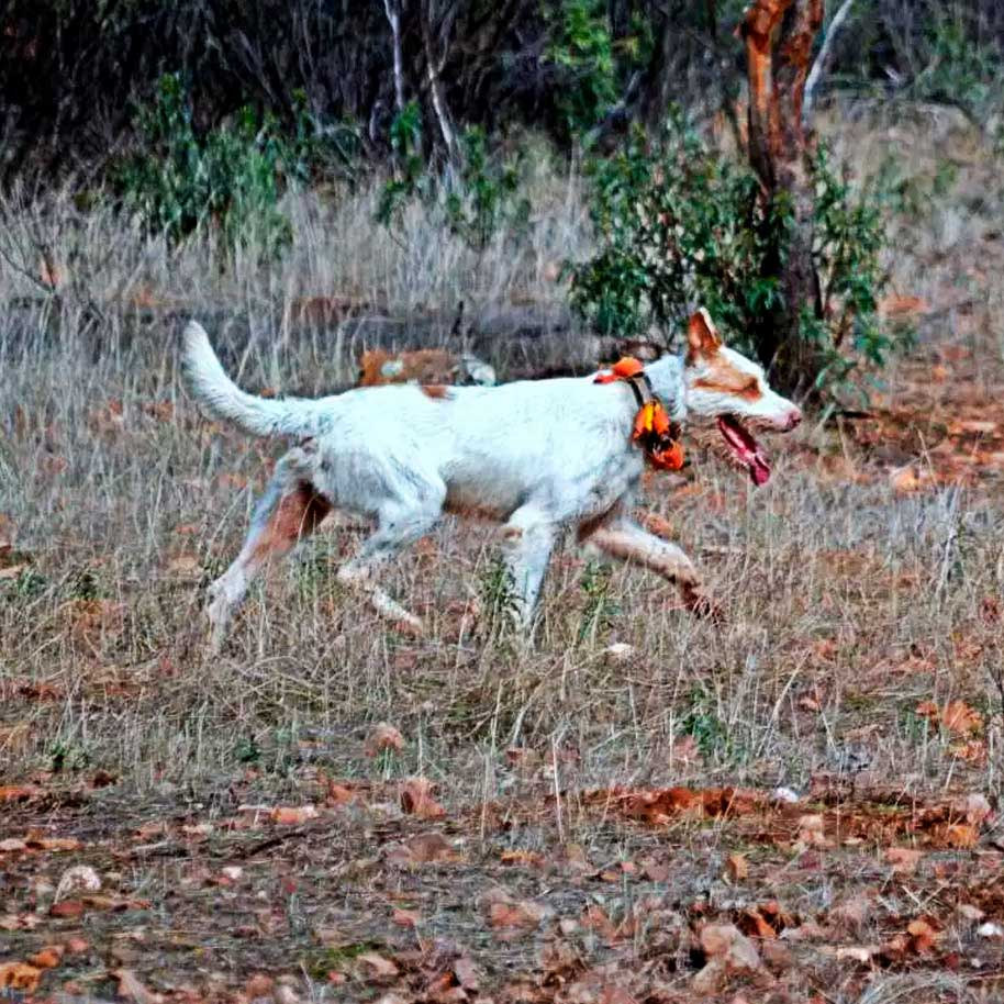 Ojespain - Big Game - Hunting Dog
